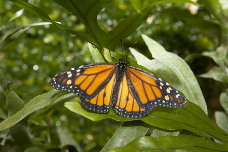 Hermosa mariposa monarca Danaus plexippus o sobre la vegetación verde Foto de archivo