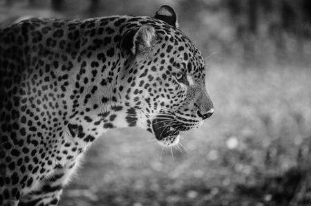 panthera pardus: Close up of magnificent big cat leopard or panthera pardus. Black and white portrait