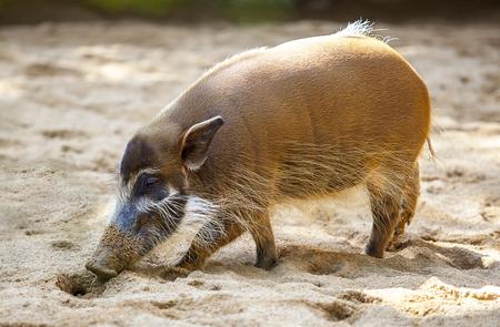 bush hog: Mature specimen of red river hog or potamochoerus porcus pictus