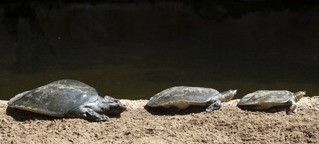Three trionyx triunguis or african Softshell Turtles having a sunbath on the river shore