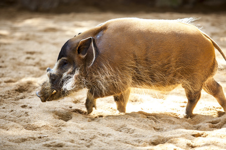 hog: Mature specimen of red river hog or potamochoerus porcus pictus