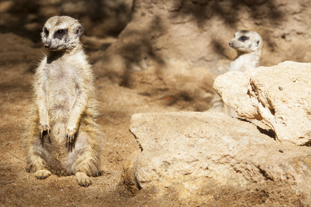 suricata: Two meerkats sitting or Suricata suricatta Stock Photo