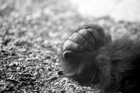 western lowland gorilla: Western lowland gorilla hand details Stock Photo