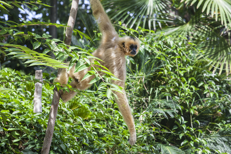 buffed: Nomascus gabriellae or yellow cheeked gibbon hangs on tree