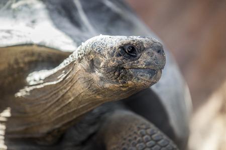 galapagos: Galapagos tortoise or Galapagos giant tortoise, Chelonoidis nigra Stock Photo
