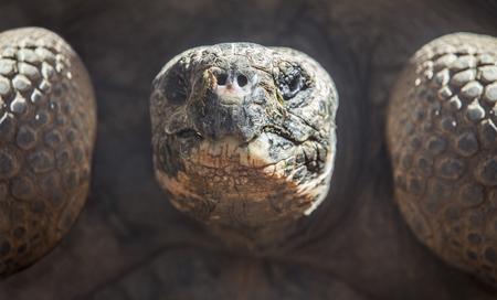 harmless: Galapagos tortoise or Galapagos giant tortoise, Chelonoidis nigra Stock Photo