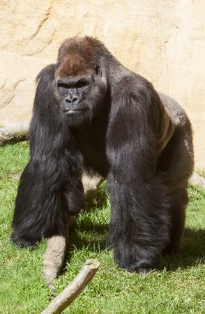 silverback: Western lowland gorilla or Gorilla gorilla gorilla staring to the camera