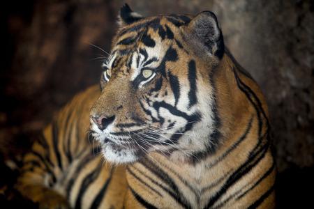 sumatran tiger: Sumatran tiger or Panthera tigris sumatrae