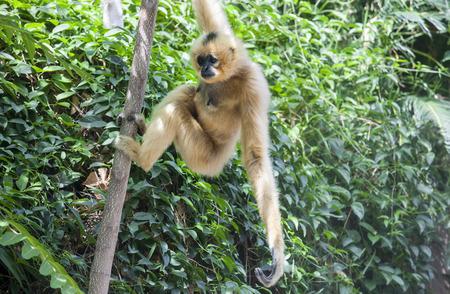 buffed: Nomascus gabriellae or yellow cheeked gibbon hangs on tree