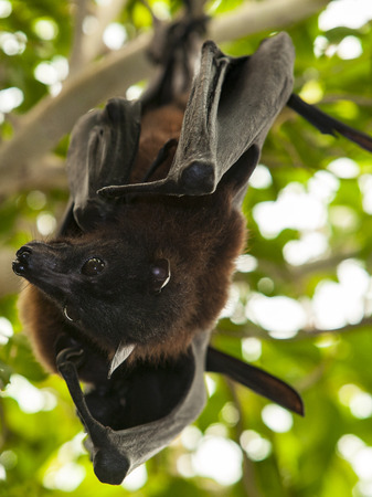 fruit bat: Two Indian flying foxes, pteropus giganteus, also known as the greater Indian fruit bat