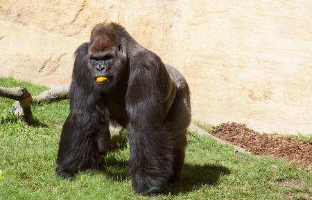 western lowland gorilla: Western lowland gorilla or Gorilla gorilla gorilla eating an orange