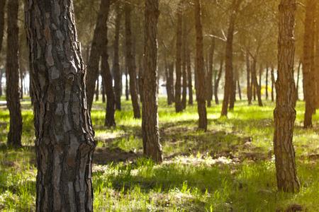 Bosque de piedra de pino en el parque nacional de Doñana, España Foto de archivo