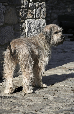 The Catalan sheepdog is a breed of Catalan pyrenean dog used as a sheepdog. The dog is bred in Europe, especially in Spain, Finland, Germany, and Sweden.