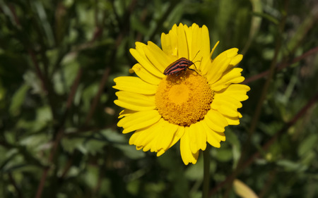 lineatum: Italian Striped-Bug or Minstrel Bug, Graphosoma lineatum over yellow flower