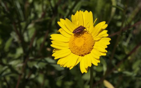 graphosoma: Italian Striped-Bug or Minstrel Bug, Graphosoma lineatum over yellow flower