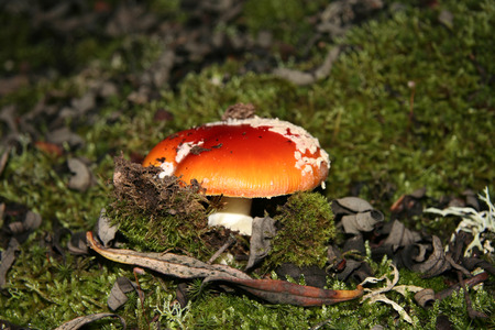 extremadura: Young red agaric mushroom or amanita muscaria sprouting under the forest lichen and moss, Extremadura, Spain Stock Photo