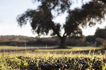 Ground of dehesa full of fallen acorns from  holm oak trees at sunset, Extremadura, Spain Stock fotó