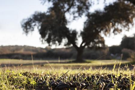 Terreno de dehesa llena de bellotas caídas de encinas al atardecer, Extremadura, España