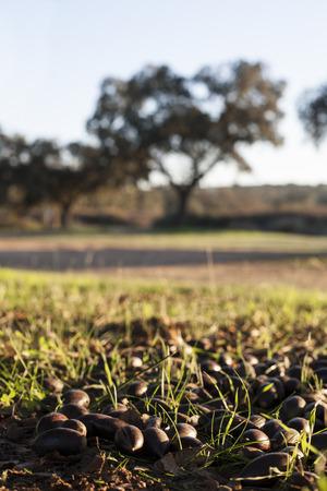 breeding ground: Ground of dehesa full of fallen acorns from  holm oak trees at sunset, Extremadura, Spain Stock Photo