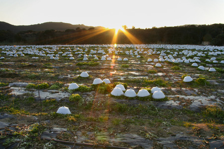 escarole: Sunset on curly endivia field with protecting hat in order to protect them from the frost
