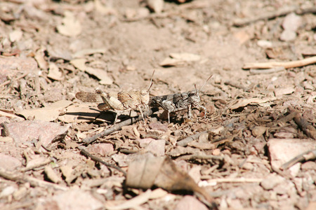 grasshoppers: Close up of a pair of grasshoppers perched over dry plain area