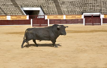 corrida de toros: Toro corriendo en el comienzo de la corrida Editorial