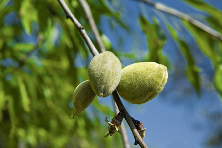 velvety: Closeup of a branch of wild almond tree with some green almonds , Alor Mountain Range, Extremadura, Spain