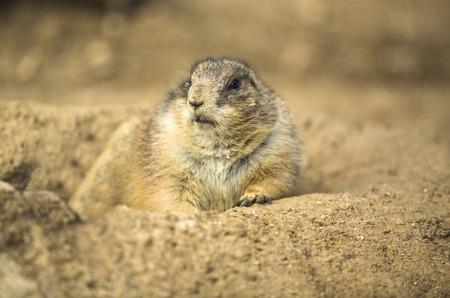 burrow: Closeup of Prairie dog eating near his burrow