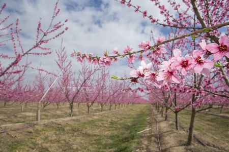 pinks: Blossoming peach plantation trees in field on background of cloudy sky, Badajoz, Spain