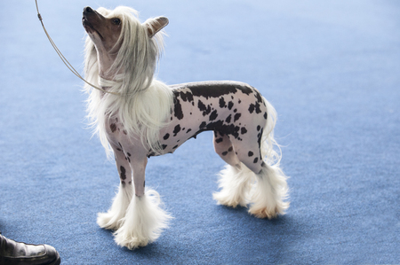 Portrait of young chinese crested dog looking up Stock Photo
