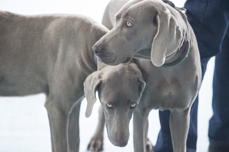pure bred: Portrait of two young Weimaraner dogs