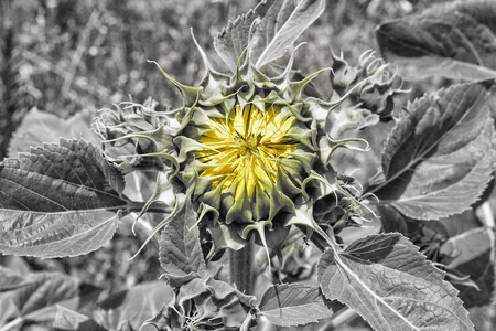 emerge: Sunflower just about to open or emerge, Vegas Altas del Guadiana, Extremadura, Spain. Black and white with color stroke