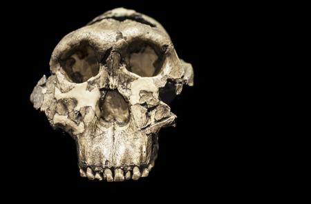 Skull of Paranthropus boisei or Australopithecus boisei, an early hominin of Pleistocene epoch Editorial