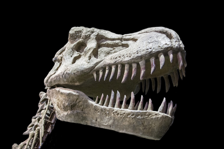 rex: Tyrannosaurus Rex skull isolated over black background