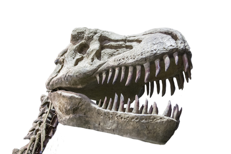 rex: Tyrannosaurus Rex skull isolated over white background