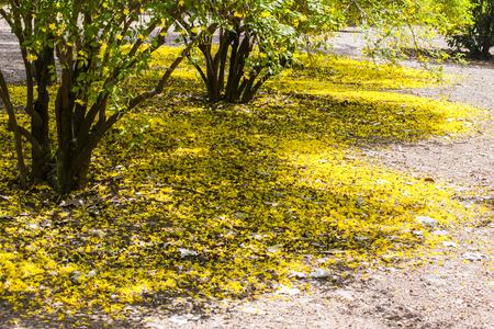 st  joseph: Garden floor ground of fallen yellow jasmine flowers. Jasminum mesnyi