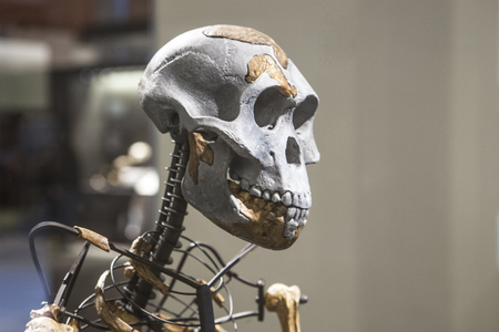 Madrid, Spain - February 24, 2017: Lucy skeleton, a female of the hominin species Australopithecus afarensis at National Archeological  Museum of Madrid Editorial