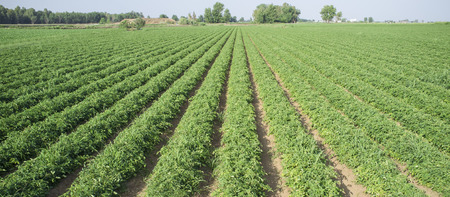 Young tomatoes plantation furrows at Vegas Bajas del Guadiana, Spain