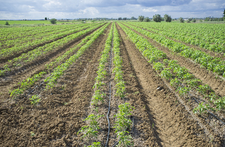 planted: Young tomato plants planted in two lines each furrow. Drip irrigation system for saving water Stock Photo