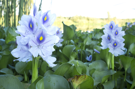 Eichhornia crassipes, commonly known as water hyacinth. Highly problematic invasive species at Guadiana River, Badajoz, Spain