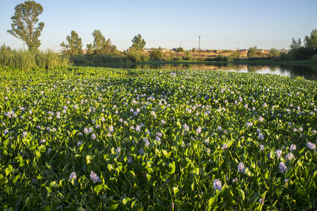 Highly invasive water hyacinth, taking over most of course at Guadiana River, near Badajoz, Spain. Eichhornia crassipes Stock Photo
