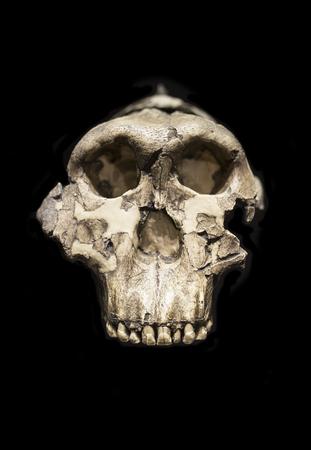 Madrid, Spain - November 11, 2017: Adult Male cranuim of Paranthropus boisei or Australopithecus bosei at National Archeological Museum, Madrid