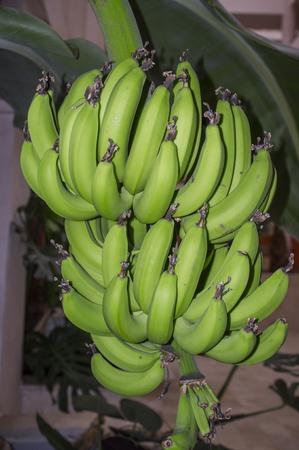 Banana fruit bud growing strong at indoor building garden, Huelva, Spain