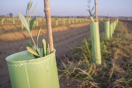 Olive young new trees plantation protected by tree shelter tubes. Closeup Stock Photo