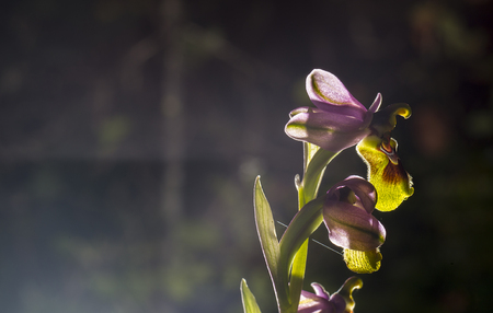 Beautiful wild rare orchid Ophrys gr. scolopax also known as the woodcock bee-orchid. Extreme backlit