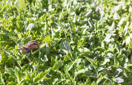 Garden snail over tomato seedlings. Bug plague concept Reklamní fotografie - 100907941