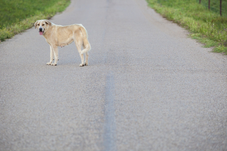Mastiff dog in the middle of country road.  Road safety concept Stock Photo
