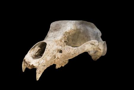 Madrid, Spain - November 11, 2017: Ursus espelaeus cranium at National Archeological  Museum of Madrid