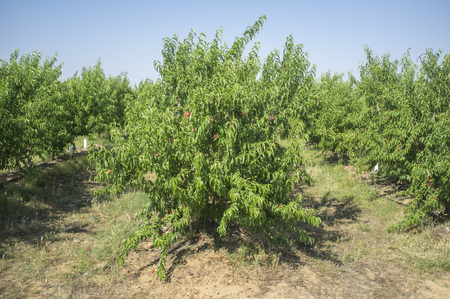 Nectarine plantation trees with fruit ripening in midsummer, Badajoz, Spain