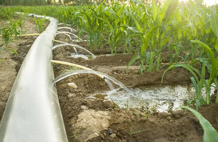 Flexible irrigation tubing system a sunny hot day. Extremadura, Spain Stock Photo